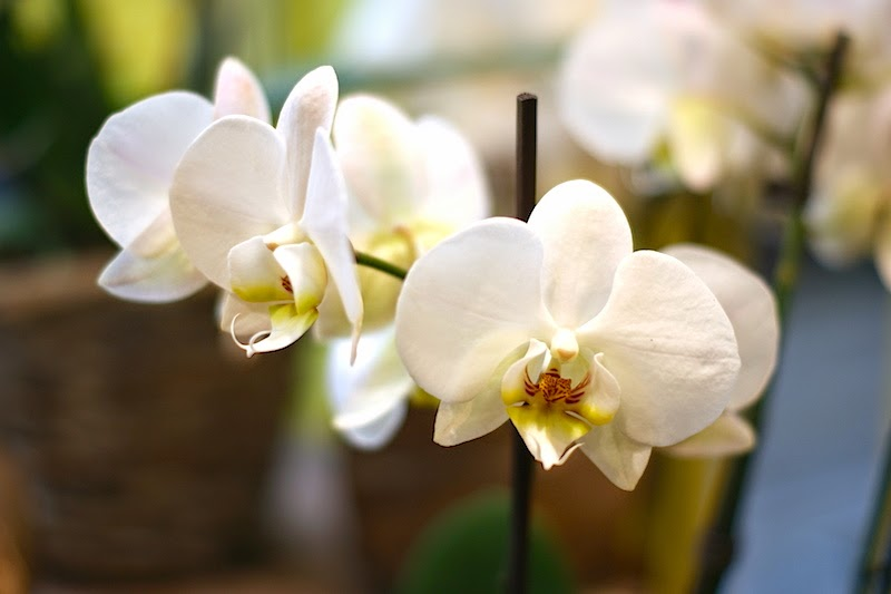 flower_orchidee