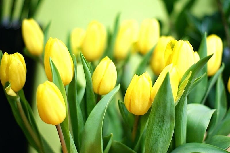 flower_tulpe