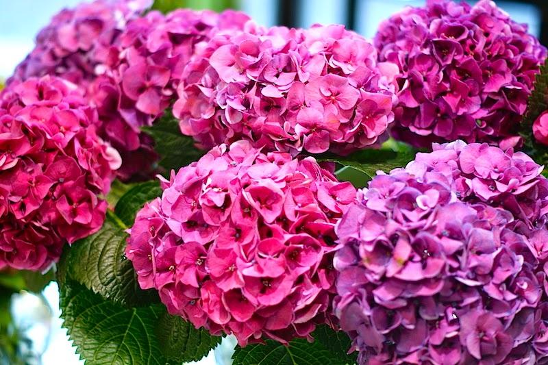 flower_hortensie